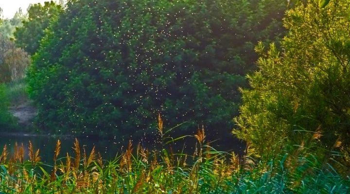 En bild på en myggsvärm i skogen.