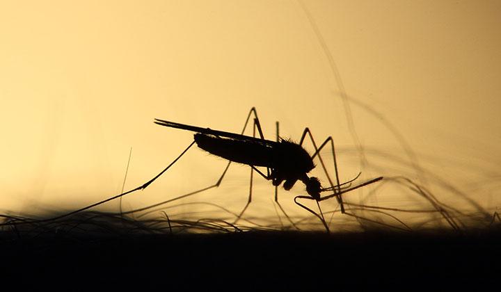 Siluett av en mygga som sitter på en person.